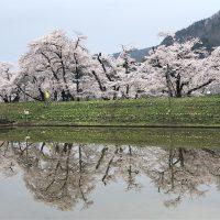 杉崎の御所桜