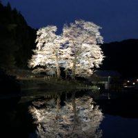 岐阜県指定天然記念物『苗代桜(なわしろざくら)』