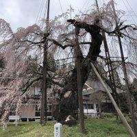 西光寺 枝垂れ桜