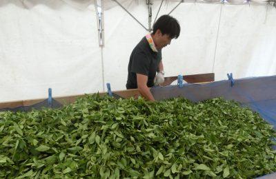 【飛騨紅茶】が奥飛騨で作られる工程を見学してきました!